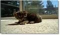 Un chat qui miaule très bizaremment !