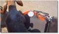 Un motard sauve un veau !