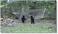 Deux ours à la cool dans un hamac