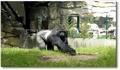 Un gorille farceur dans un zoo