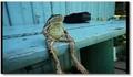 Une grenouille assise comme un homme