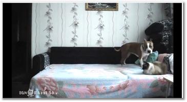 Un chien fait n'importe quoi sur un lit