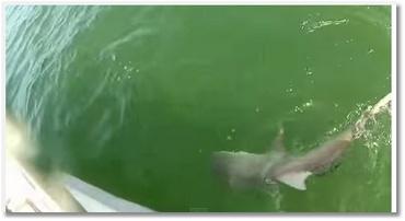 Un requin mangé par un mérou géant