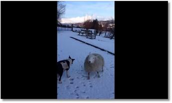 Un mouton se prend pour un chien