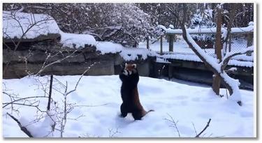 Des pandas roux s'éclatent dans la neige