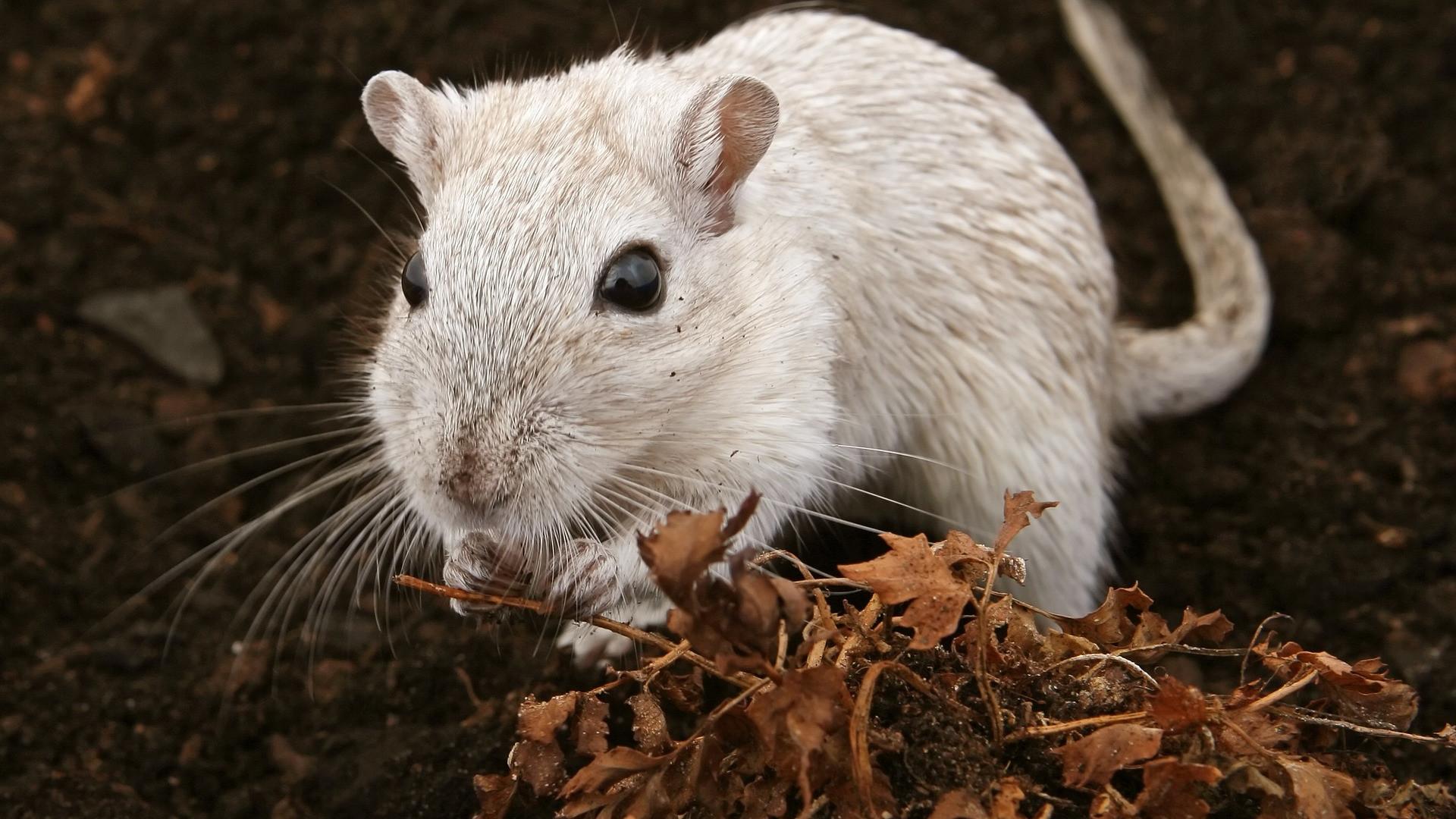 Au Havre comme ailleurs, il faut éliminer les rats